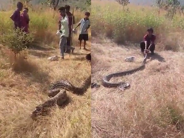 In Rajasthan 13 Feet Long Python Spit His Lunch Dog A Viral