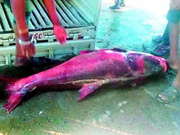 A Fifty Two Kg Fish Caught Dam Amravati Maharashtra