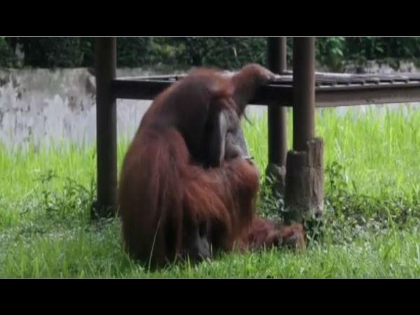 Orangutan caught smoking