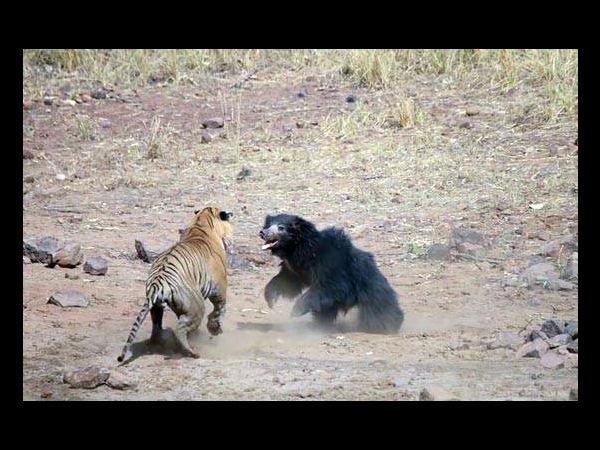 At Tadoba Reserve Tense Face Off Between Tiger And Bear Caught On Camera