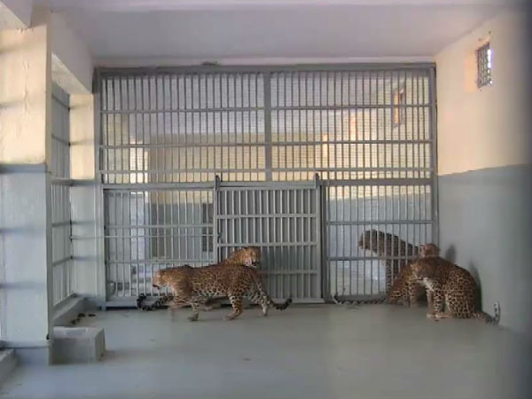 Jail Built Gir Leopard Attacking Human