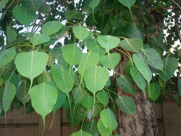 Benefits Of Peepal Tree