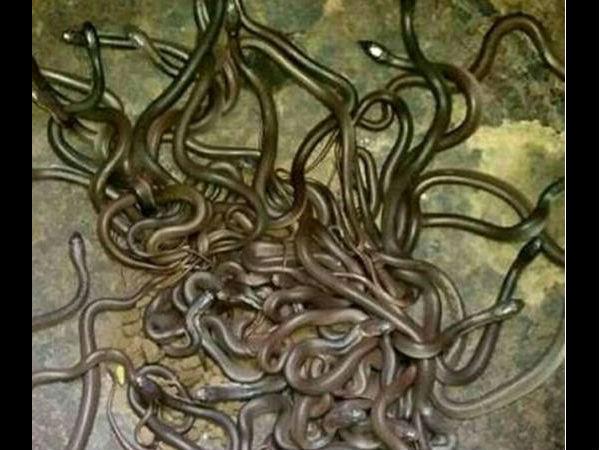 Video 111 Cobras Found In Odisha Farmer S House