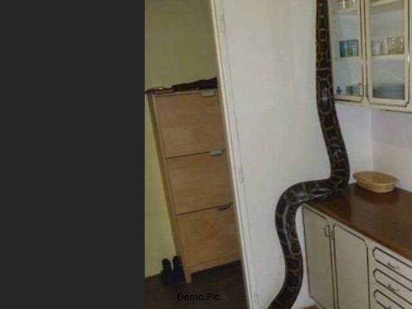 A Woman Saw Python Kitchen West Bengal