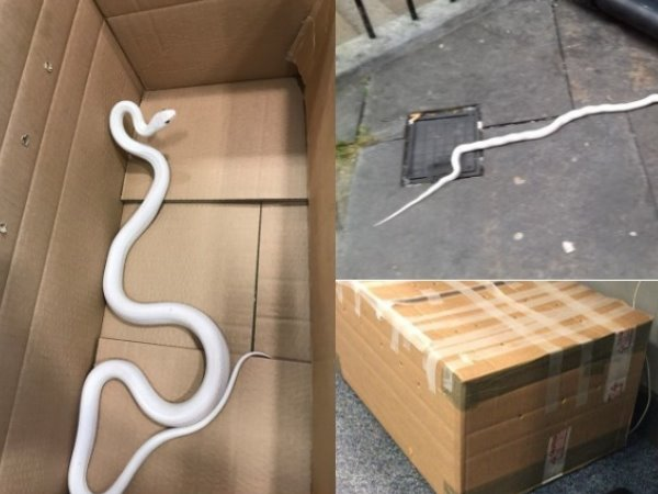 In Uk Northumbria Police Handed Mysterious Box With A Rare 6 Feet White Snake