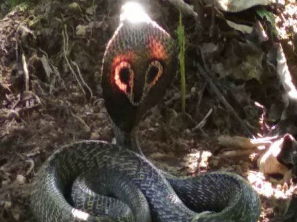 Amazing Video King Cobra Shining With Red Hood Spotted Karnataka