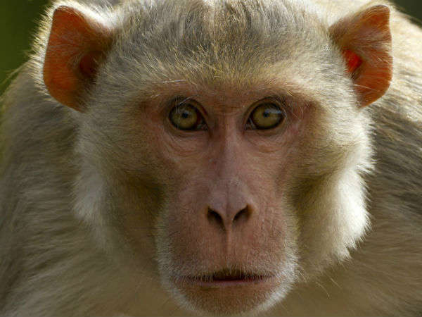 Runk Monkey Attacked On Women Haryana