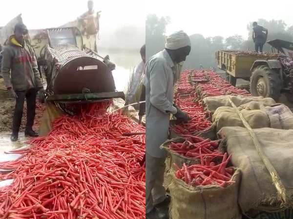 Biggest Carrots Production Sadhuwali Village Sri Ganganagar