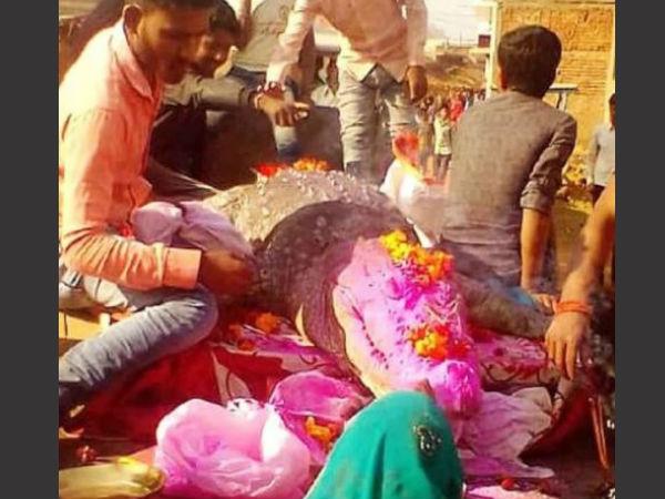 Yr Old Crocodile Gangaram Dies 500 Villagers Attend Funeral