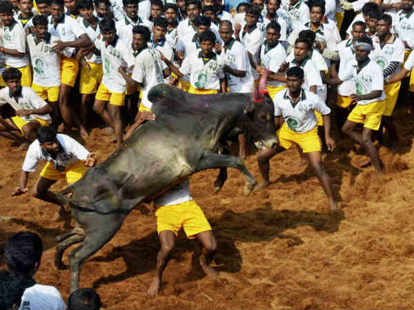 Tamilnadu Two Died 30 Injured Jallikattu World Record Made