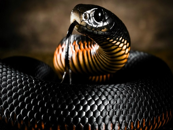 Gujarat Four Smugglers Arrested With Thirty Snakes Like Cobra