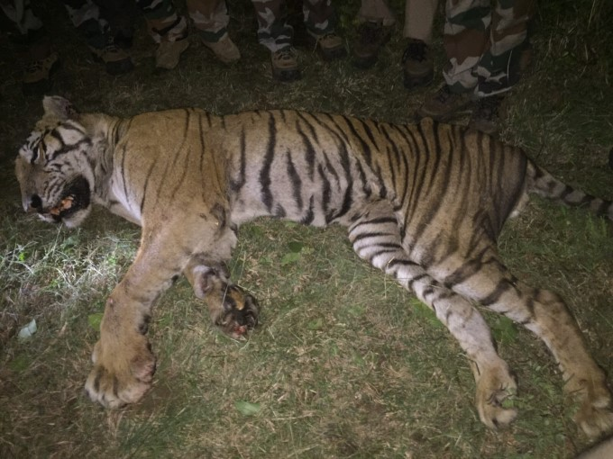 Tiger Found Dead Mahisagar District After Some Day Sighing Gujarat