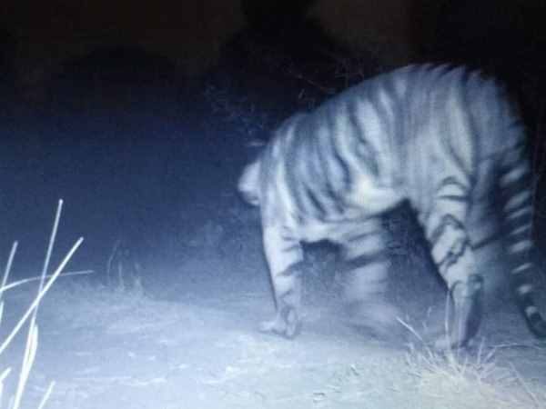 Gujarat Tiger Returns The State After 27 Long Years Caught Camera