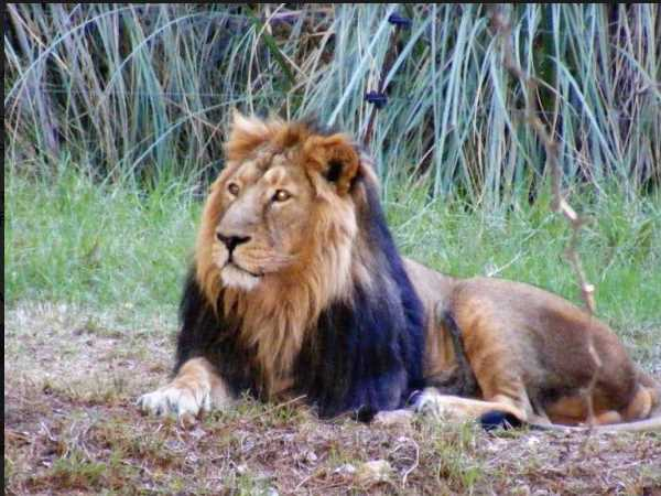 Demands Of Asiatic Lions In States