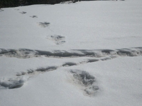 Its Not Yeti But A Bear S Footprints Says Nepal To Indian Army