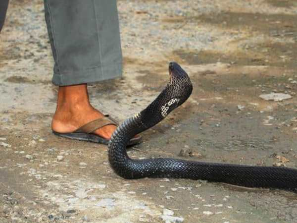 Man Chewed Snake For Revenge Duo Dead