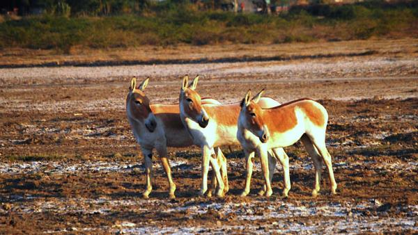 The Most Rare Donkeys In Gujarat People Coming To Watch Them