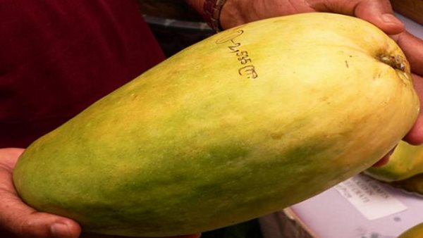 Know About Worlds Biggest And Costliest Mango Noorjahan