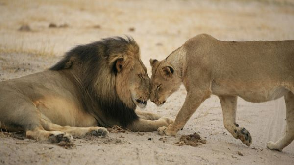 Gujarat Government Accepted That 212 Lions Died In Last Two Years
