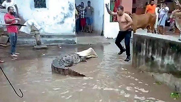Crocodiles In Vadodara City So Far 25 Have Been Caught