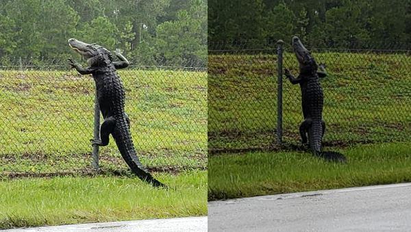 Crocodile Cross The Iron Fencing Video Viral