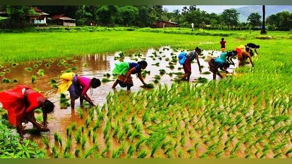 Gujarat Good Agriculture Due To Rainfall Sowing In 80 Lakh Hectares Of Land