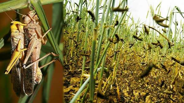 તીડના હુમલાથી ખેડૂતો મુશ્કેલીમાં, ઓરિસ્સામાં જારી કરવામાં આવી એલર્ટ