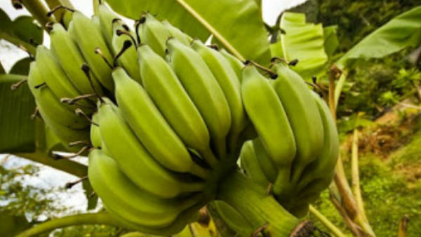 Vastu Tips: ઘરમાં કેળાનું ઝાડ લગાવવું જોઈએ કે નહિ?