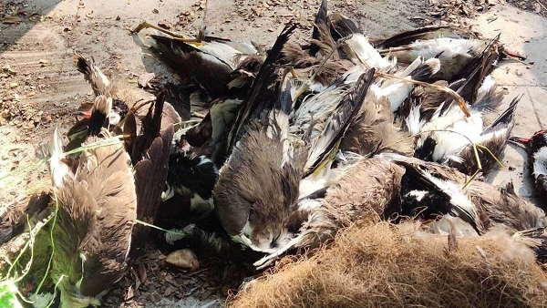 ગુજરાતઃ બર્ડ ફ્લુના જોખમ વચ્ચે 100થી વધુ પક્ષીઓ મળ્યા મૃત