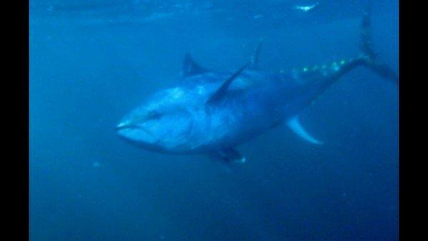 આ છે વિશ્વની સૌથી મોંઘી માછલી, કિંમત જાણીને હોશ ઉડી જશે