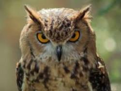 Us Scientists Explain How Owl Rotates Head