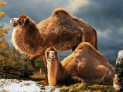 Camel Fossils Discovered In Canada