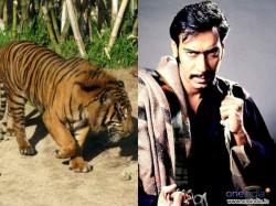 Ajay Devgn Fights Tiger Himmatwala Amitabh Bachcha