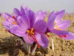 Anand Agri Uni Successfully Cultivated Kashmiri Saffron