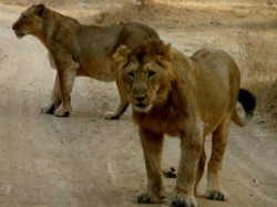 Translocation Of Asiatic Lions From Gujarat To Mp