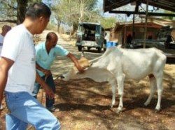 Guj 50 Million Cattle Will Be Covered In Vaccination