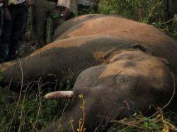 Elephants Killed By Poachers In Central Africa