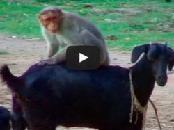 Funny Video Monkey Playing With Goat