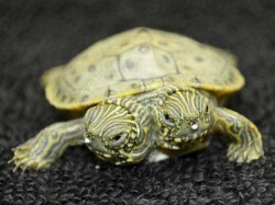 Two Headed Turtle Become Famous America