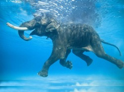 Only Elephant In The World Who Can Swim In Ocean