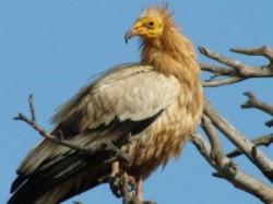 Rare Egyptian Vultures Sighted Odisha