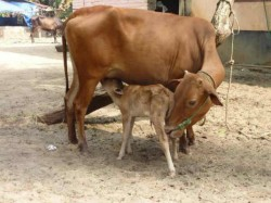 Indian Pesticide Made From Cow Urine Got Us Patent