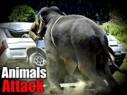 Dangerous Animals Attack On Vehicles