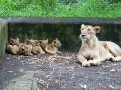 Gujarat Forest Department Took Help Of Facebook To Naming Lion Cubs
