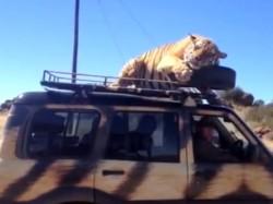 Tiger Takes Mahindra Scorpio Suv Ride