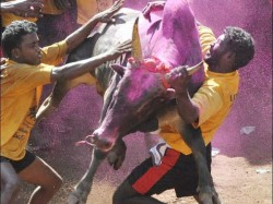 Jallikattu The Festival Bull Taming