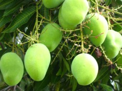 Mango May Cost More This Yr As Production Seen Down By 20 Percent