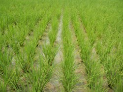 Centre Allows Gujrat Govrnment To Continue With Old Insurance Scheme In Agriculture