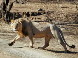 All Lions Gujarat Will Be Tested Infection