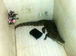 Gujarat Sojitra Family Shocked To Find 5 Feet Crocodile In Bathroom